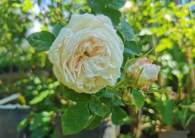 'Blanche Fleur'