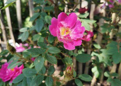 'Goethe-Rose'